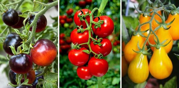 Самые маленькие помидоры - томаты Черри. Красные, черные и желтые сорта.