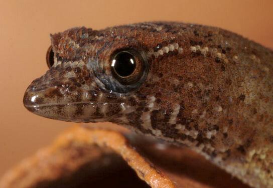 Самые маленькие ящерицы - Круглопалые гекконы. Виргинский круглопалый геккон (Sphaerodactylus Рarthenopion).