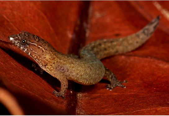 Самые маленькие ящерицы - Круглопалые гекконы. Виргинский круглопалый геккон (Sphaerodactylus Рarthenopion). фото: http://en.wikipedia.org/
