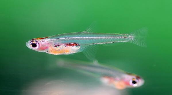 Самая маленькая рыбка в мире - Paedocypris Progenetica