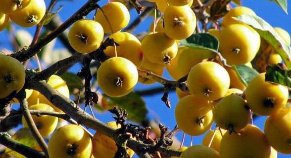 """Самое маленькое яблоко в мире. Яблоня """"Китайка золотая ранняя""""."""