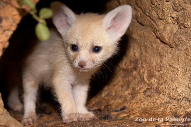 Самая маленькая в мире лиса - Фенек. Детеныш Фенека.