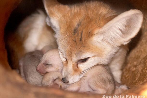 Самая маленькая в мире лиса - Фенек. Самка с новорожденными фенеками.