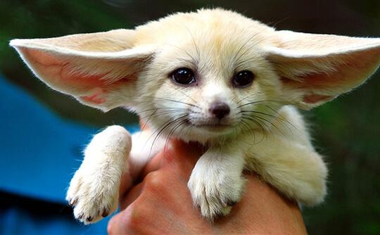 Самая маленькая в мире лиса - Фенек.