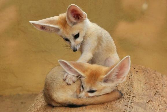 Самая маленькая в мире лиса - Фенек