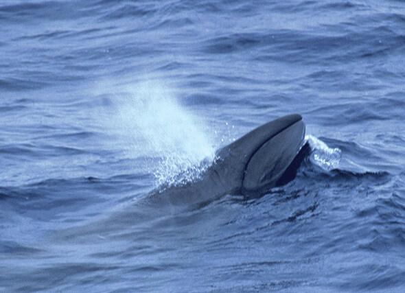 Самый маленький в мире кит - Карликовый кит