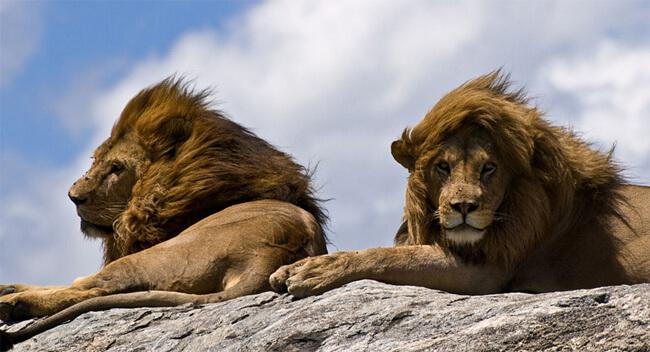 Масайский лев или Восточноафриканский лев (Panthera leo nubica)