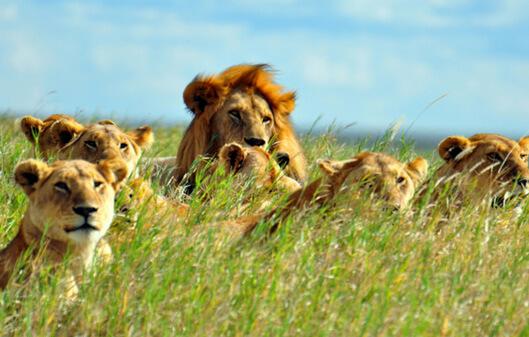 Африканские львы. Прайд.