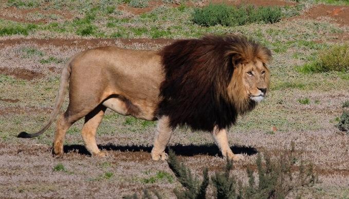 Барбарийский лев (Panthera leo leo)