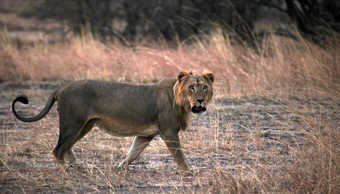 Сенегальский лев или Западнофариканский лев (Panthera leo senegalensis)
