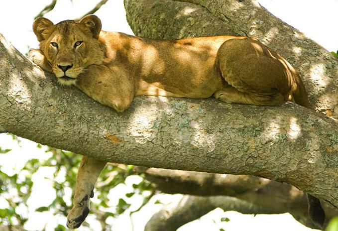 Конголезский африканский лев (Panthera Leo azandica). Самка.
