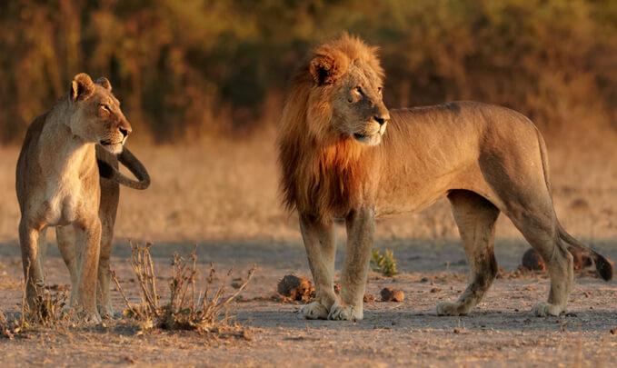 Северозападный африканский лев (Panthera leo bleyenberghi) /фото: Lev konžský