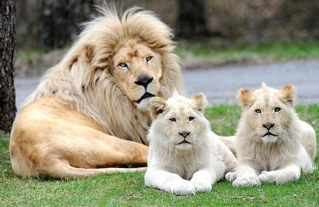 Трансваальский лев или Юго-восточный африканский лев (Panthera leo krugeri)