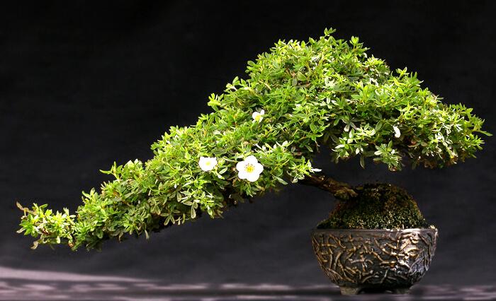 Полукаскадный - хан-кэнгай (Bonsai han kengai)