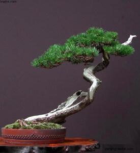 Бонсай Фукинагаши Fukinagashi