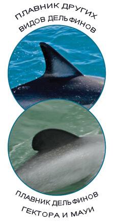 Самые маленькие в мире дельфины - дельфины Гектора и Дельфины Мауи имеют закругленный плавник.
