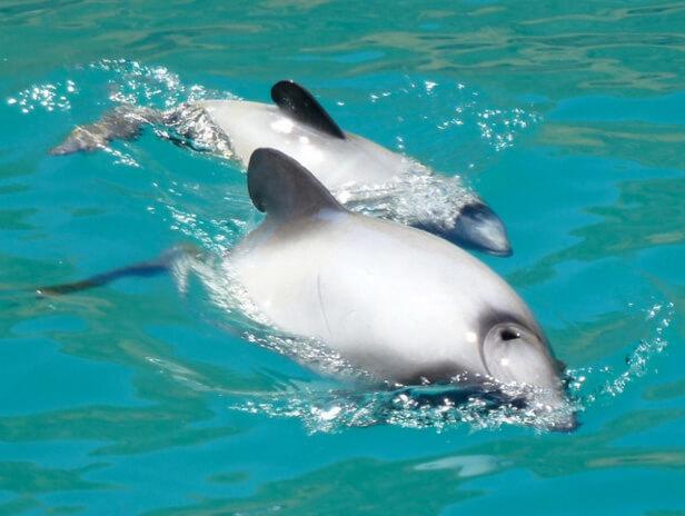 Самые маленькие дельфины в мире - дельфины Гектора. Самка и детеныш.