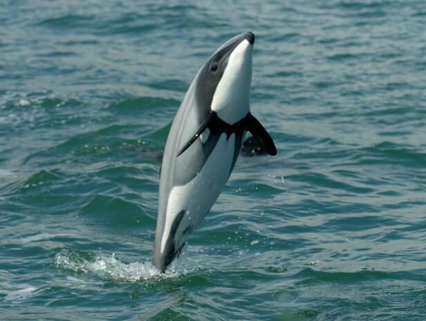 Самые маленькие дельфины в мире - дельфины Гектора