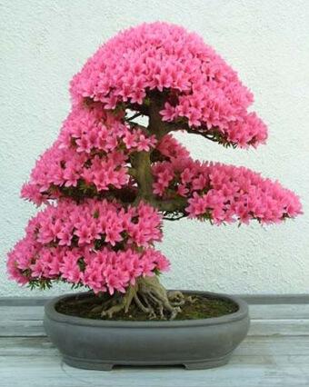 цветочный бонсай Хокидачи