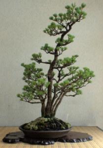 Многоствольный бонсай – кабудати (Kabudachi)