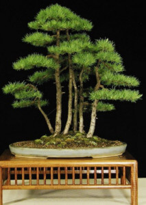 Бонсай Лесной - ёсе-уэ yose-ue-bonsai