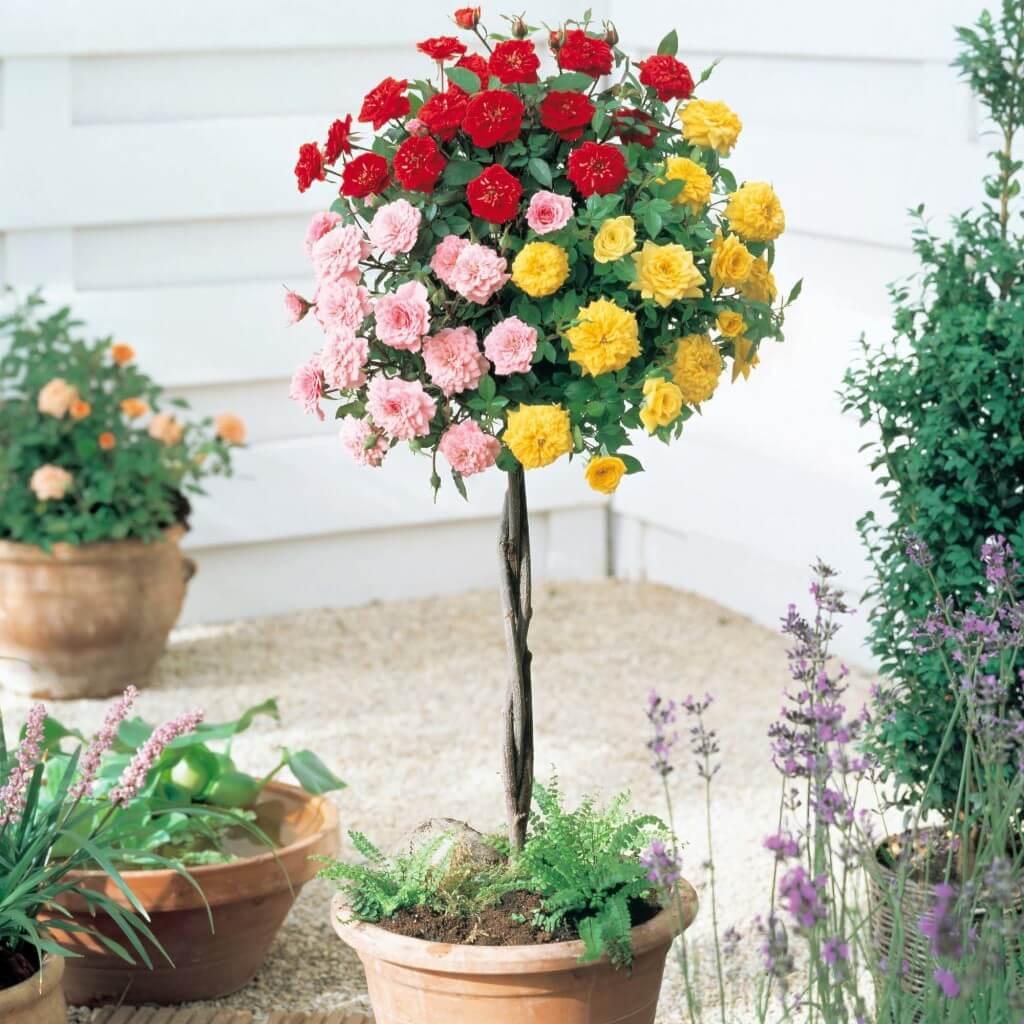 Розы штамбовые купить интернет 2