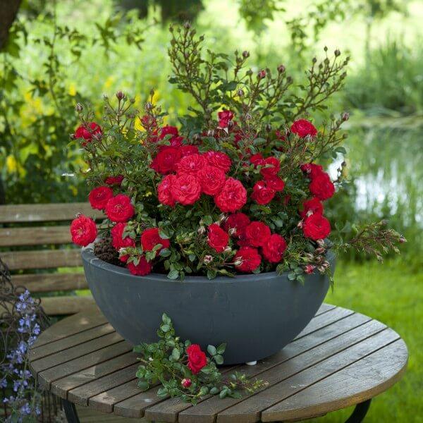 Самые маленькие в мире розы. Миниатюрные сорта роз и особенности ухода.