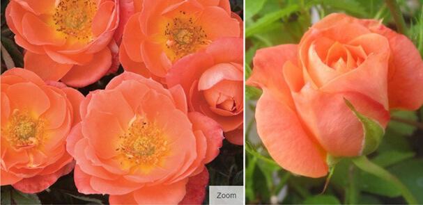 Amber Sunblaze® - Янтарный блеск.Самые маленькие в мире розы. Миниатюрные сорта роз и особенности ухода.