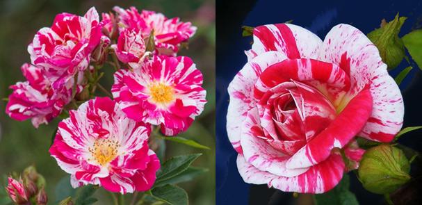 Миниатюрная полосатая роза STARS 'N' STRIPES - Звёзды и Полоски.Самые маленькие в мире розы. Миниатюрные сорта роз и особенности ухода.