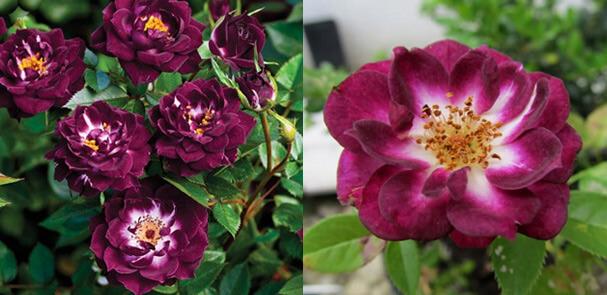 Миниатюрная фиолетовая роза Diamond Eyes - Бриллиантовые глаза Самые маленькие в мире розы. Миниатюрные сорта роз и особенности ухода.