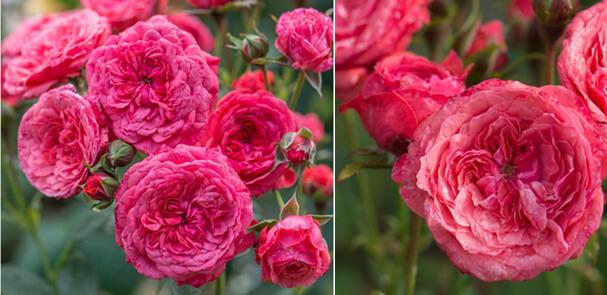 Миниатюрная розовая роза CRI CRI - Кри Кри. Самые маленькие в мире розы. Миниатюрные сорта роз и особенности ухода.
