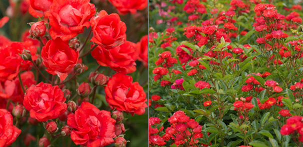 Миниатюрная красная роза GLOIRE DU MIDI (Dwarf Polyantha) Самые маленькие в мире розы. Миниатюрные сорта роз и особенности ухода.