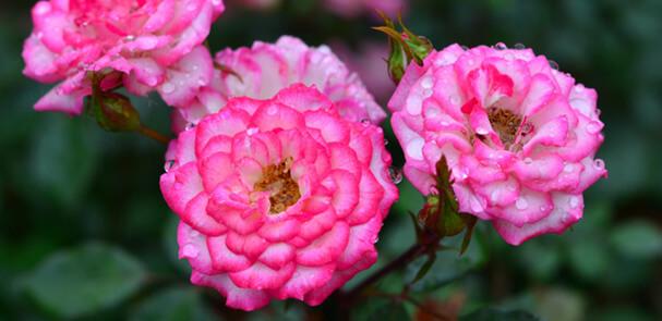 Миниатюрная розовая роза Magic Carrousel - Волшебная карусель. Самые маленькие в мире розы. Миниатюрные сорта роз и особенности ухода.