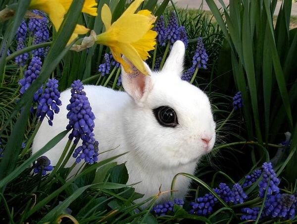 Маленькие кролики. Карликовые домашние породы кроликов. Карликовый хотот (Blanc de Hotot)