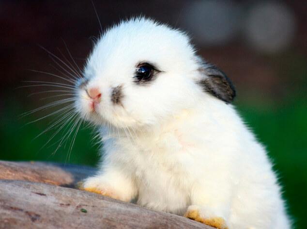 Маленькие кролики. Карликовые домашние породы кроликов.