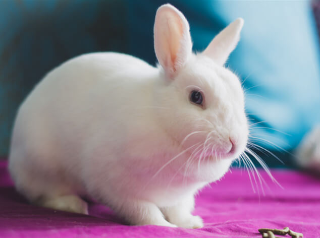 Маленькие кролики. Карликовые домашние породы кроликов. Гермелин.