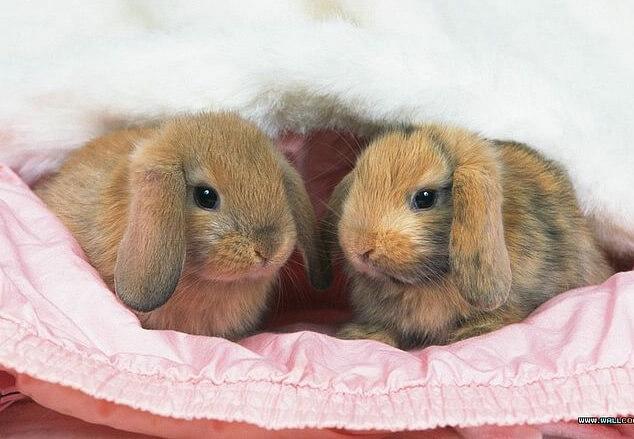Маленькие кролики. Карликовые домашние породы кроликов. Вислоухий кролик «баран»