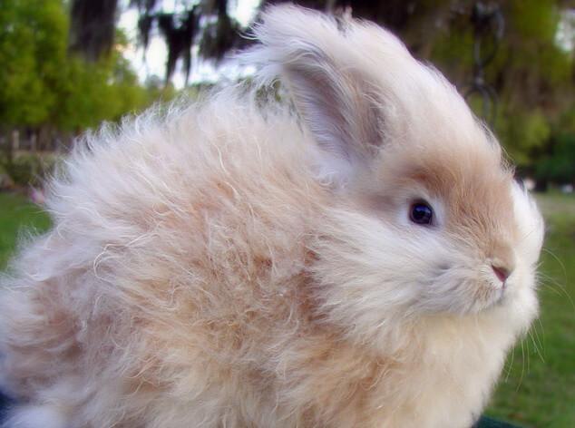 Маленькие кролики. Карликовые домашние породы кроликов. Ангорский кролик