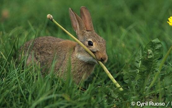 Маленькие кролики. Карликовые домашние породы кроликов. Кролики «Рекс»