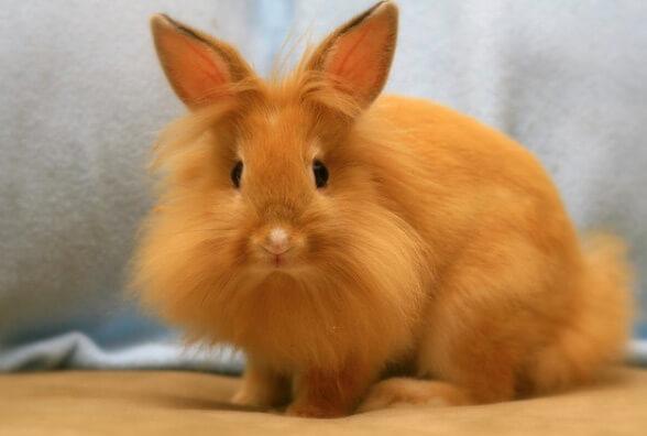 Маленькие кролики. Карликовые домашние породы кроликов. Львиная головка