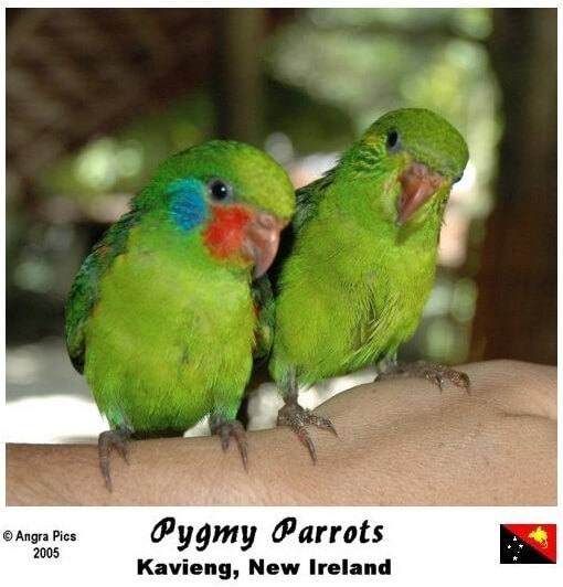 Дятловые – самые маленькие попугаи в мире