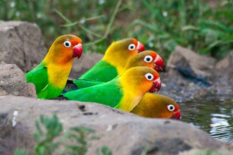 Маленькие попугаи. Виды, особенности и уход. Попугай неразлучник Africa. Tanzania. Fischer's Lovebirds drinking at Ndutu in the Ngorongoro Conservation Area.