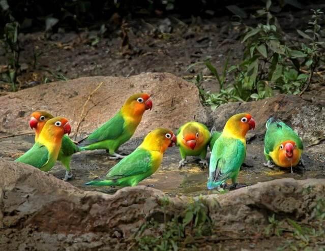 Маленькие попугаи. Виды, особенности и уход. Попугай неразлучник