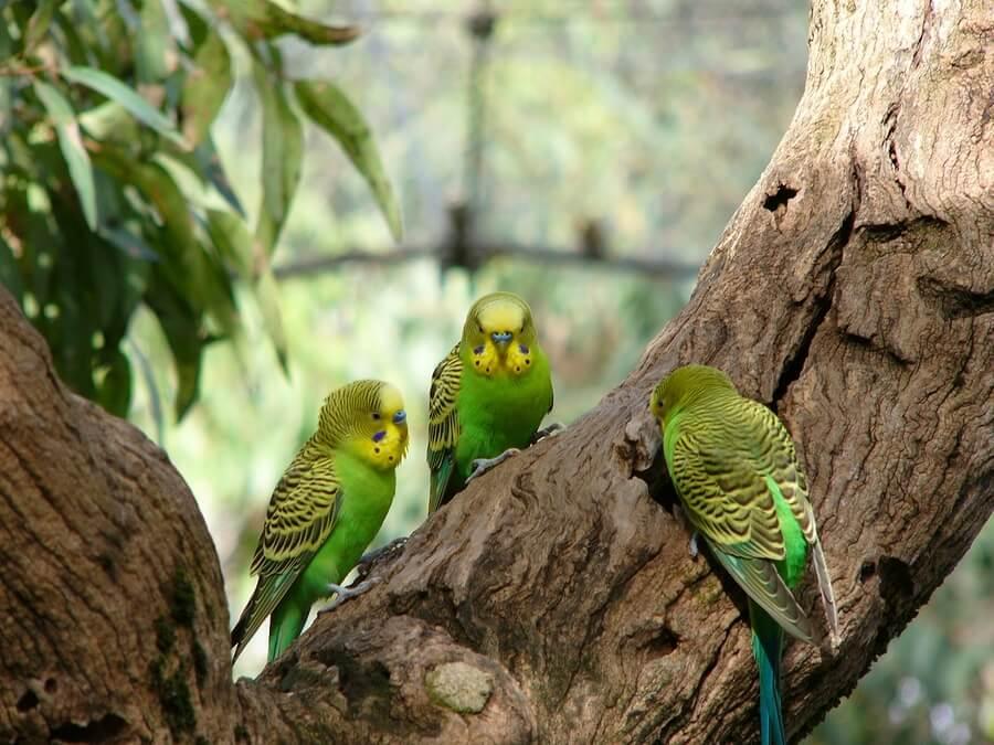 Маленькие попугаи. Виды, особенности и уход. Волнистые попугаи.