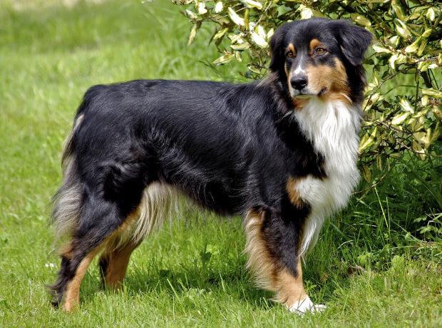 Австралийская пастушья. самые умные породы собак