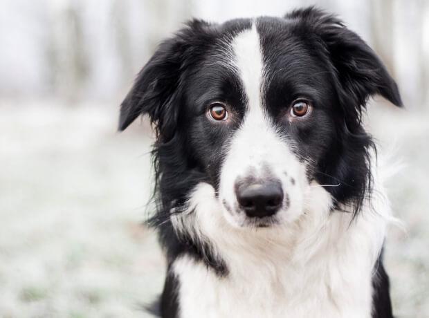 Самая умная порода собак. Бордер колли
