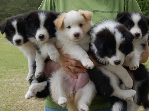 Бордер колли. щенки