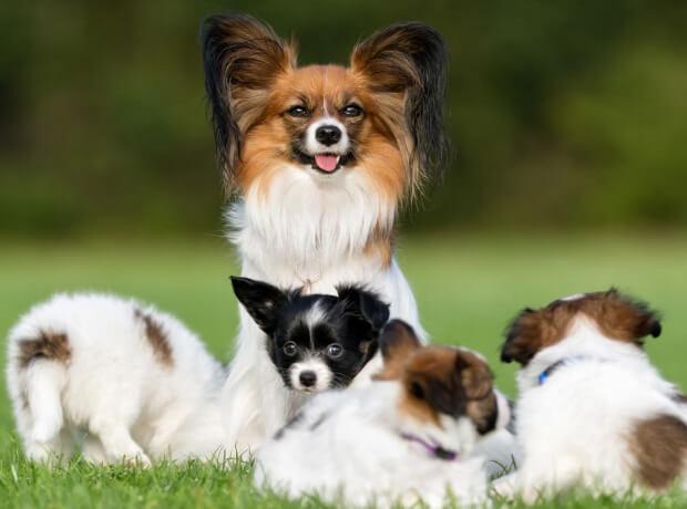 Папильон. Рейтинг самых умных собак.