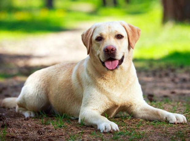 Лабрадор. рейтинг самых умных пород собак.