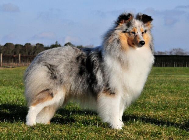 Шелти. Самые умные породы собак.